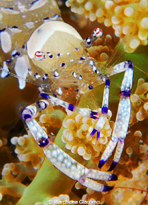 Crystal shrimp